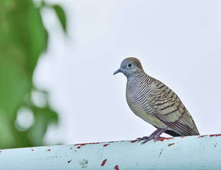 fench: Collar dove sat on metal fench