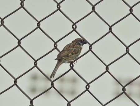 fench: bird sparrow on metal fench