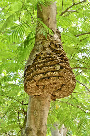 paper wasp: Wasp nest on tree in forest Stock Photo