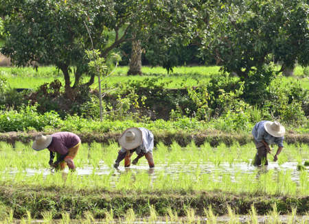 Farmers are planting rice in paddy Stock Photo