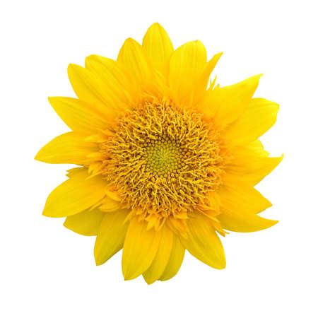 sunflower isolated on white background Stock Photo - 14895206