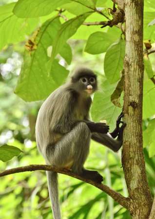 dusky: dusky Leaf Monkey in forest