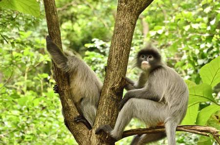 gray langur: dusky Leaf Monkey in forest