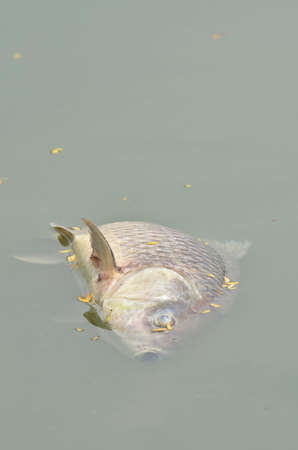 dead fish in polluted river photo