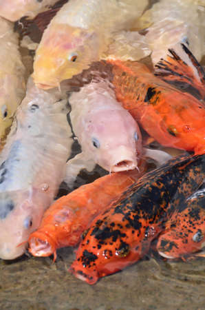 colorful koi fish in the pond photo