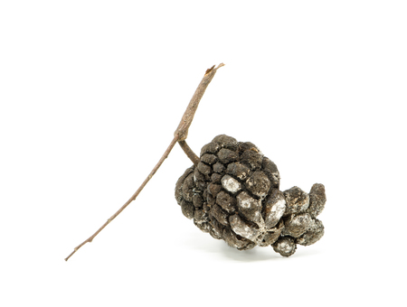 putrefied: Rotten custard Apple on white background