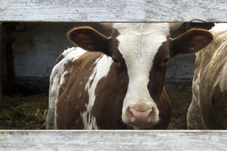 Brown and white cow in a farm. Brown and white cow in a farm. Looking through a fence