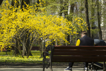 Man with baby carriage sitting on a bench in a park in spring and beautiful blossoming bush with yellow flowers in far background