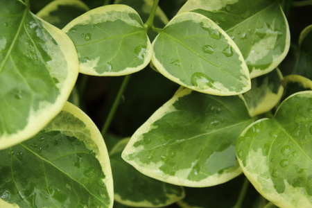 water drops on the green leaves of periwinkle plant close up