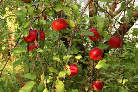 red apples on tree in orchard with sunlights royal gala, fuji, pink lady close up