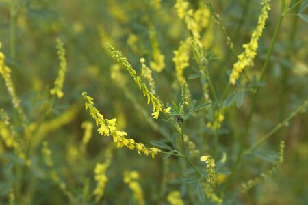 yellow flower of herbal Melilotus officinalis in the field