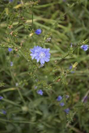 Common Chicory or Cichorium intybus flower blossoms commonly called blue sailors, chicory
