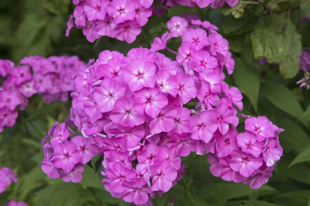 Violet flox flowers blossoming close up photo on green garden background