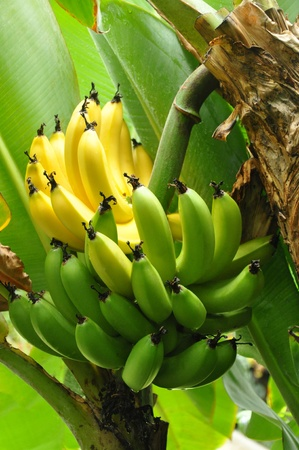 banana skin: Half ripe bunch of Bananas on tree Stock Photo