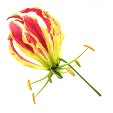 Flame Lily izolovaných na bílém pozadí Reklamní fotografie