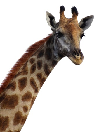 youngly: Giraffe head and neck - looking towards the camera on white background Stock Photo