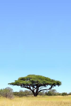 simbabwe: Ein einzelnes Acacia Baum gegen einen blauen Himmel, in Hwange National Park fotografiert, Zimbabwe, Afrika