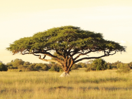 zimbabwe: Acacia en la llanura africana