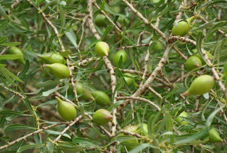 argan: Seeds of body clensing Argan oil on tree in Morocco