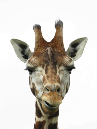zimbabwe: Giraffe cabeza sobre fondo blanco Foto de archivo