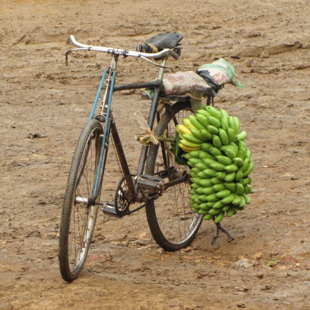 transported: This is the most common way bannanas are transported around rural Uganda