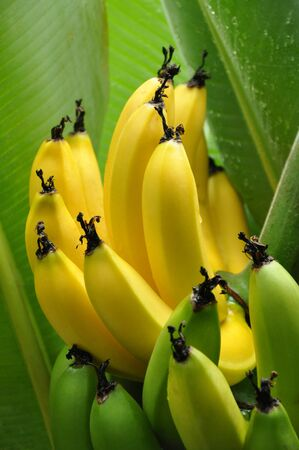 peeled banana: Close up of yellow and green Bananas on tree Stock Photo