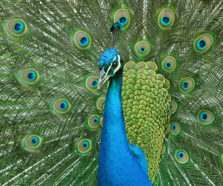 blue peafowl: Peacock with tail facing up facing left of shot Stock Photo