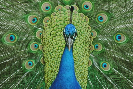 indian peafowl: Peacock with tail facing up facing straight ahead