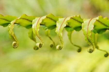 New fronds of New Zealand fern uncurling photo
