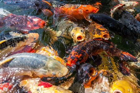 Many colorful koi fishes during feeding Imagens - 131100150