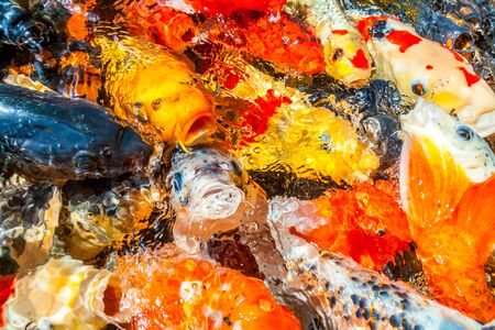 Many colorful koi fishes during feeding