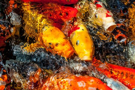 Many colorful koi fishes during feeding Imagens - 131100153