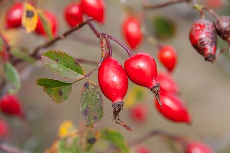 Red hips on a bush in autumn