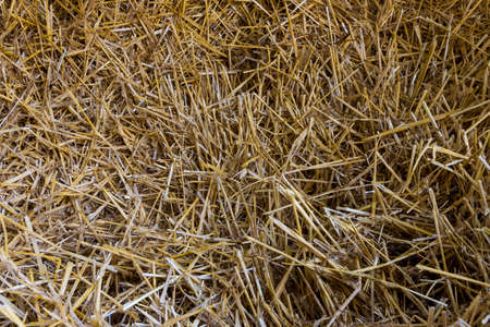 Straw as background or texture after the harvest 版權商用圖片