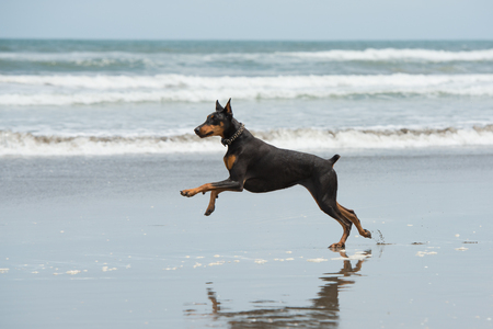 Doberman playing at the seaside Reklamní fotografie