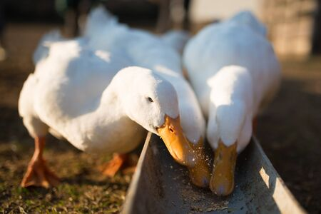 Duck to eat the bait Imagens