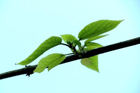 Germogli di foglie dai rami.