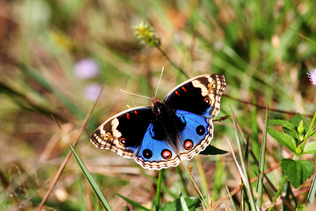 The Blue Pansy butterfly 免版税图像