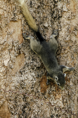 Squirrels are climbing trees. Stock Photo