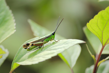 Grasshoppers are on leaves in nature.
