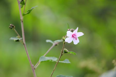 Malvaceae existing in nature