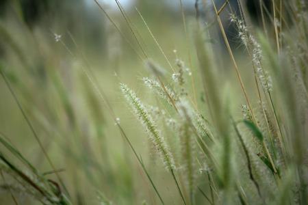 Grass pollen white in nature.
