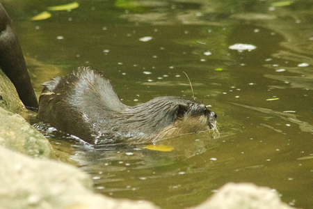 Small-clawed Otter in the water.