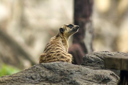 Suricata suricatta in the zoo looking something.