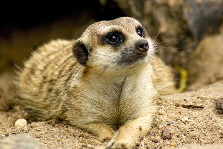 Suricata suricatta looking at something and A mammal Small size