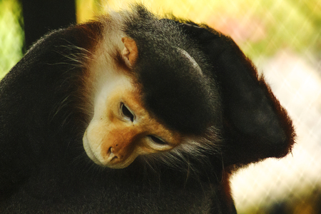 Red-shanked Douc Langur in the zoo. Stock Photo
