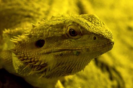 Bearded dragon in the zoo
