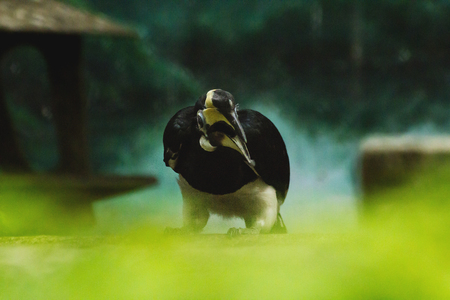 Oriental Pied Hornbill is the smallest hornbill in Thailand.