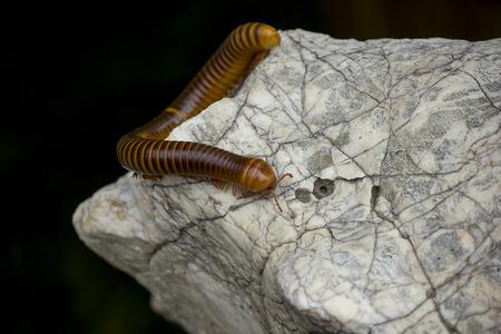 millipede on a white stone