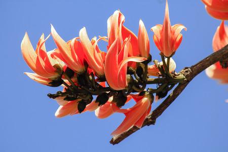 Butea monosperma is a medium-sized tree. The flowers are both orange and yellow.